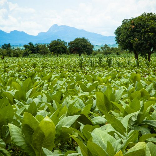 tobacco-fields